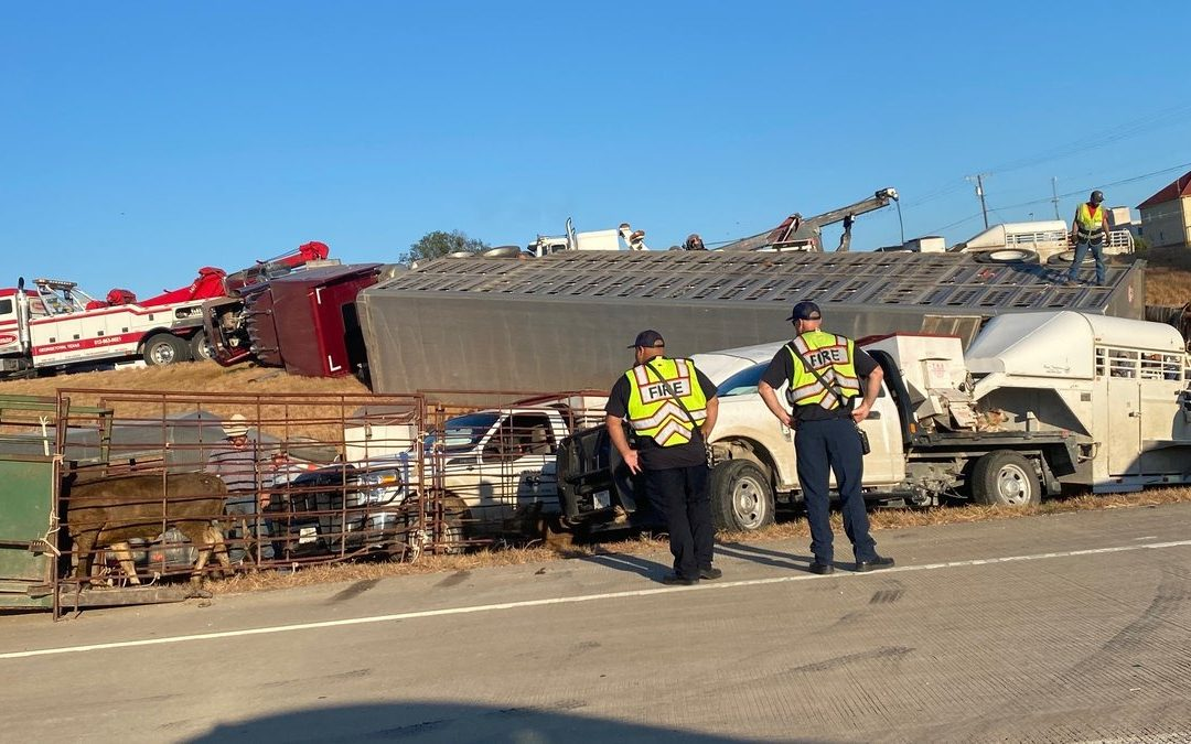 Trailer Carrying 120 Head of Cattle Overturns, Driver Injured